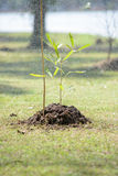 Sapling tree Stock Photography
