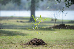 Sapling tree Royalty Free Stock Photography