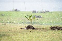 Sapling tree Royalty Free Stock Photos