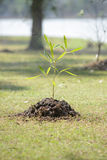 Sapling tree Royalty Free Stock Photo