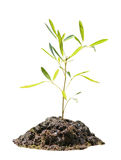 Sapling tree Royalty Free Stock Images