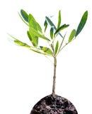 Sapling tree Royalty Free Stock Image