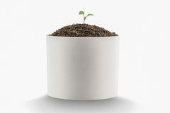 Sapling of a tree. On a white background Stock Image