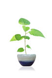 Sapling Stock Images