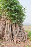 Saplingen av cassavaen för odlar Royaltyfri Bild