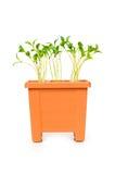 saplings бака глины зеленые растущие Стоковые Фотографии RF