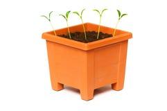 saplings бака глины зеленые растущие Стоковые Изображения RF