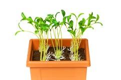 saplings бака глины зеленые растущие Стоковая Фотография RF