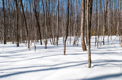Saplings Casting a Shadows on the Snow Royalty Free Stock Photo