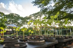 Saplings are growing in the farming plastic flowerpot in a row with big tree and sky background. Saplings are growing in the farming plastic  flowerpot in a row royalty free stock photography