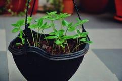 Saplings growing in a garden pot Stock Image