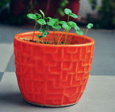Saplings growing in a garden pot Royalty Free Stock Image