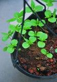 Saplings growing in a pot Royalty Free Stock Photos