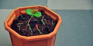 Saplings growing in a pot Stock Photo
