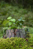 Saplings, moss and lichen on top of a stump of a tree Royalty Free Stock Photography