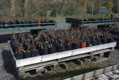 Saplings of roses in black pots are on wooden pallets. Stock Images