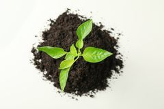 Saplings seedlings in black soil on white background, top view and space for text. Environmental protection. Agriculture stock images