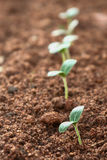 Saplings. Tiny saplings in a row Stock Photos