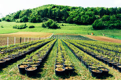 Saplings at tree farm Stock Photo