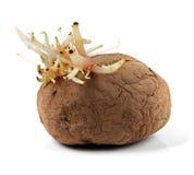 Saploze die patato met spruiten op wit worden geïsoleerd royalty-vrije stock foto