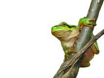 Sapo de árbol Imagen de archivo libre de regalías
