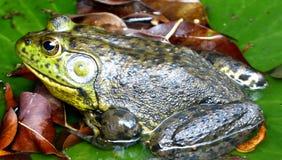 Sapo de Brown com cabeça verde na lagoa de água fotografia de stock royalty free