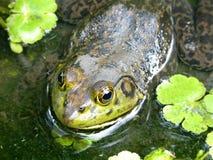 Sapo de Brown com cabeça verde na lagoa de água imagem de stock