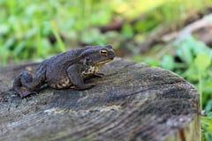 Sapo de la rana del primer (bufo de Bufo) Fotografía de archivo