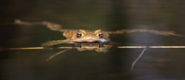 Sapo en el agua - rana fotos de archivo libres de regalías