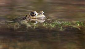 Sapo en el agua - rana imágenes de archivo libres de regalías