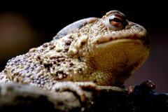 Sapo europeo de la rana (bufo del bufo) Fotografía de archivo