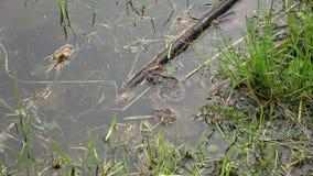 Sapo Fogo-inchado europeu na água da lagoa da mola video estoque