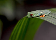 Sapo - Frog. Costa Rica, tradicional frog for this country Royalty Free Stock Images