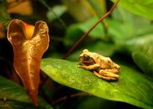 Sapo - grenouille Photos libres de droits