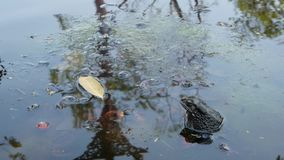 Sapo na lagoa calma Sapo pequeno que senta-se na água de borbulhagem da lagoa tranquilo na natureza wildlife video estoque