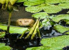 Sapo que espreita fora da água Close-up asiático do sapo Fundo do animal dos animais selvagens foto de stock