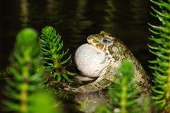 Sapo verde europeu (viridis de Bufo) imagem de stock royalty free