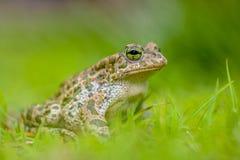 Sapo verde firme na grama verde-clara Foto de Stock Royalty Free