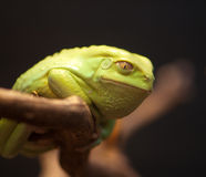 Sapo verde sonriente Fotografía de archivo libre de regalías