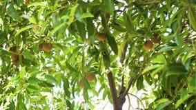 Sapodilla φρούτα στο δέντρο απόθεμα βίντεο