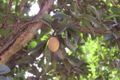 Sapodilla φρούτα Στοκ Φωτογραφίες