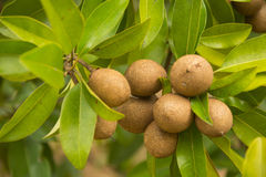 Sapodilla. Close up of fresh sapodilla on tree Stock Photo