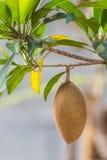 Sapodilla. Fruit food and drink Stock Photography