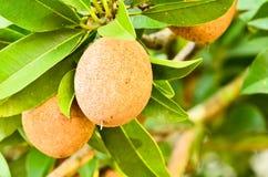 Sapodilla fruit on the tree Royalty Free Stock Image