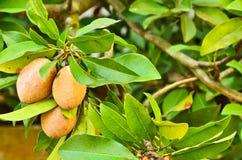 Sapodilla fruit on the tree Royalty Free Stock Photos