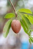 Sapodilla fruit on the tree Stock Images