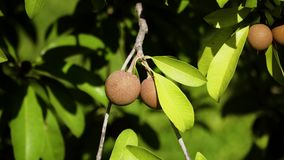 Sapodilla fruit on tree. Tropical fruit sapodilla on tree branch. Tropical plant sapodilla with brown fruits and green leaves stock video footage