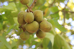 Sapodilla fruit Stock Photo