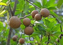 Sapodilla Fruits Royalty Free Stock Photos