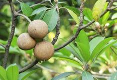 Sapodilla Fruits Stock Photo